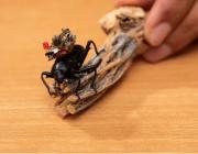 史上最小无线可操控摄像机问世:可装在甲虫头部,向手机实时传输视频